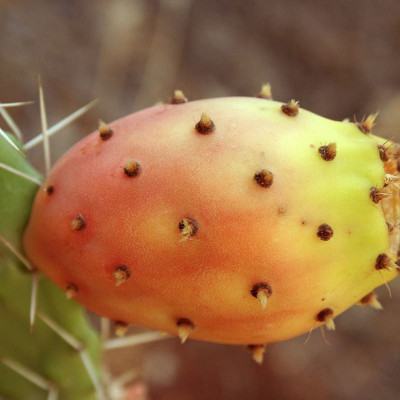 P like Prickly Pear vegetable oil (Opuncia ficus indica)