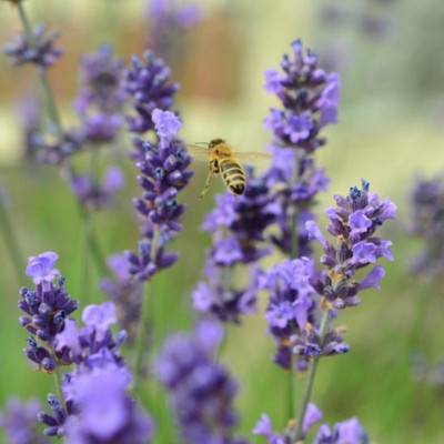 L like Lavender essential oil (Lavandula angustifolia)