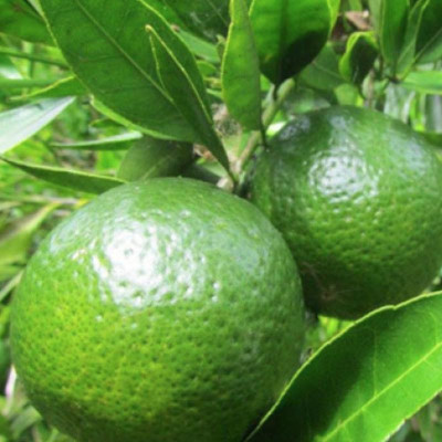 M like the essential oil of green Mandarin (Citrus Reticula)