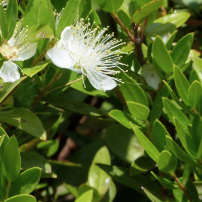 M like red Myrte essential oil (Myrtus communis)