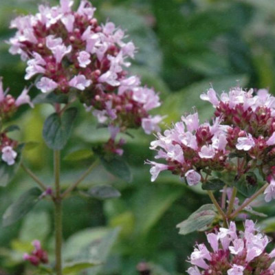 O like Oregano essential oil (Origanum compactum)