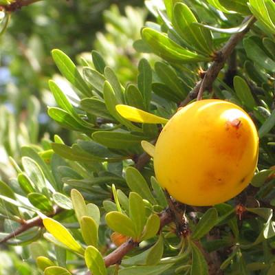 A comme l'huile végétale d'Argan (Argania spinosa)