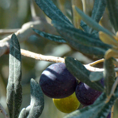 O like Olive oil (Olea Europaea)