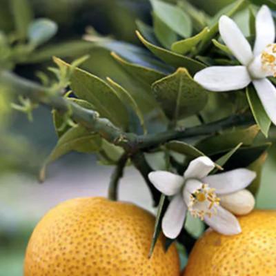 P like Petit grain essential oil (Citrus aurantium)