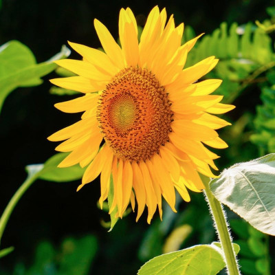 S like Sunflower vegetable oil (Helianthus annuus seed oil)