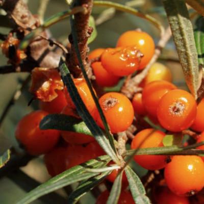 A comme l'huile végétale d'Argousier (Hippophae rhamnoides)
