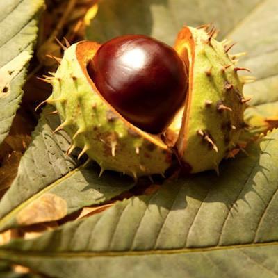 M comme Marron d'Inde (Aesculus hippocastanum)