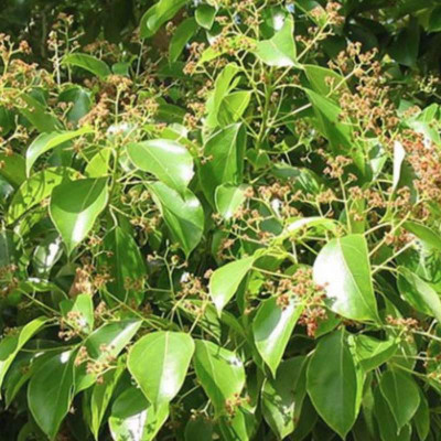 B like Bois de Hô essential oil (Cinnamomum camphora linaloolferum)
