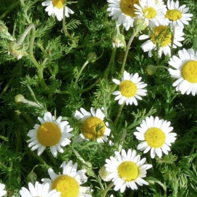 C like roman Chamomile essential oil (Anthemis nobilis)